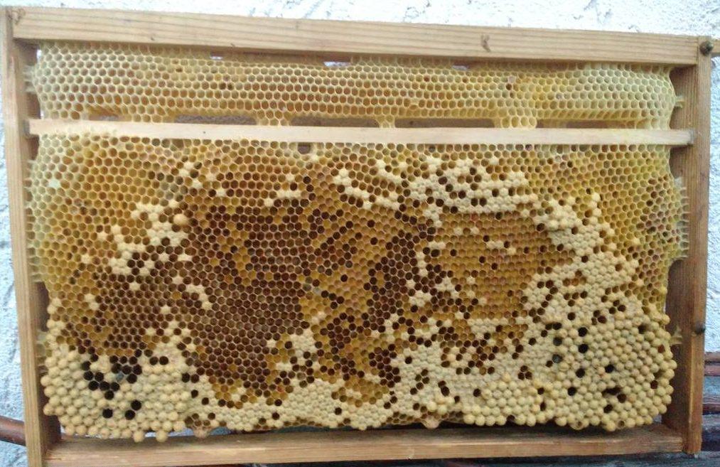 Drohnenrahmen bei den Vorbereitungen zum Bienentransport in neuen Dadant-Beuten